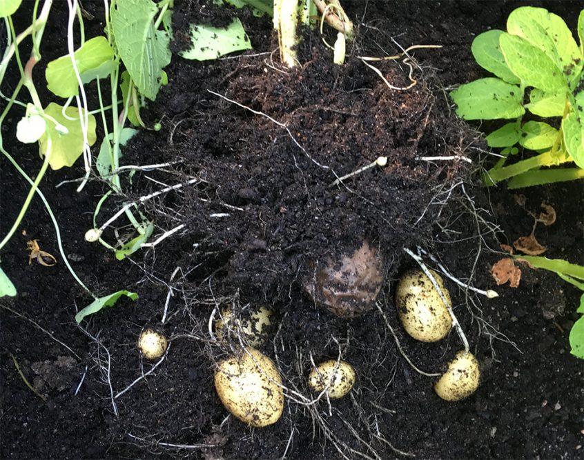 när skörda potatis